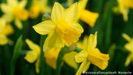 Daffodils (picture-alliance/dpa/A. Warnecke)