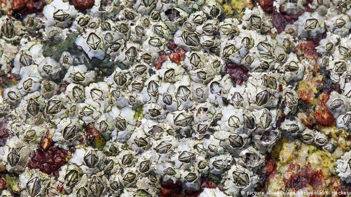 Australische Seepocke, Neuseelaendische Seepocke, Australseepocke, Austral-Seepocke, Elminius modestus, Modest barnacle (picture alliance/dpa/blickwinkel/F. Hecker)