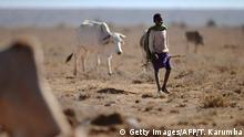 24.01.2017***** A young herder from the Samburu pastoral community grazes his family cattle on the dwindling pasture on the plains of the Loisaba wildlife conservancy on January 24, 2017 where controlled livestock grazing from surrounding manyattas (Samburu settlements) is helping mitigate conflict over increasingly scarce water and pasture during a biting drought season. The broad plains of Mugie, a huge estate on a high plateau northwest of Mount Kenya, are crisscrossed with cattle trails and the wildlife is mostly gone. The knee-high grass remains, but not for long, reckons manager Josh Perrett, as tensions between semi-nomadic pastoralists and settled landowners take a destructive, sometimes violent turn. / AFP / TONY KARUMBA (Photo credit should read TONY KARUMBA/AFP/Getty Images)
