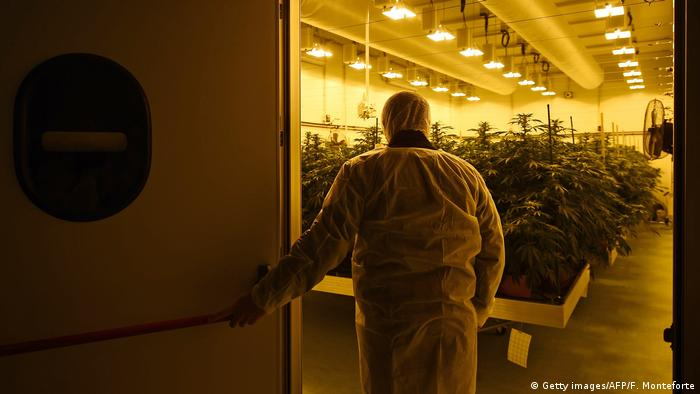 Person looking at cannabis plants (Getty images/AFP/F. Monteforte)