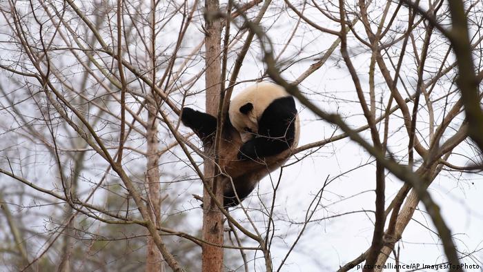 旅美熊猫「宝宝」回国去生宝宝