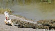 Das Sumpfkrokodil erreicht eine maximale Länge von etwa vier Metern. Die erwachsenen Tiere sind grau bis graubraun und meistens mit dunklen Zeichnungen versehen, die Jungtiere sind hellbraun bis braun und besitzen auf dem Schwanz und dem Körper eine dunkle Querbänderung.
