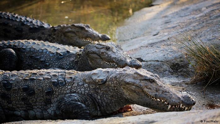 De acuerdo al listado de la IUCN, el 12% por ciento de las 13.835 especies de la región se encuentra en peligro de extinción, ya sea en estado vulnerable, en peligro o crítico. Entre los reptiles, uno de los más amenazados es el cocodrilo o caimán del Orinoco, que habita la cuenca de este río en Colombia y Venezuela. Se trata de una especie de gran tamaño, que sufrió estragos debido a la caza.