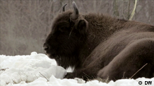 European Bison (DW)