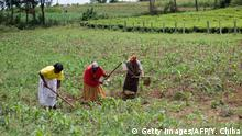 Landwirtschaft Kenia Anbau von Mais