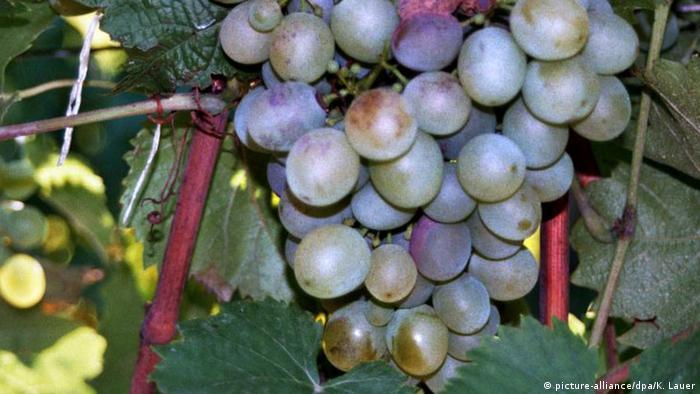 Uvas para fazer o vinho Tokaji na Hungria