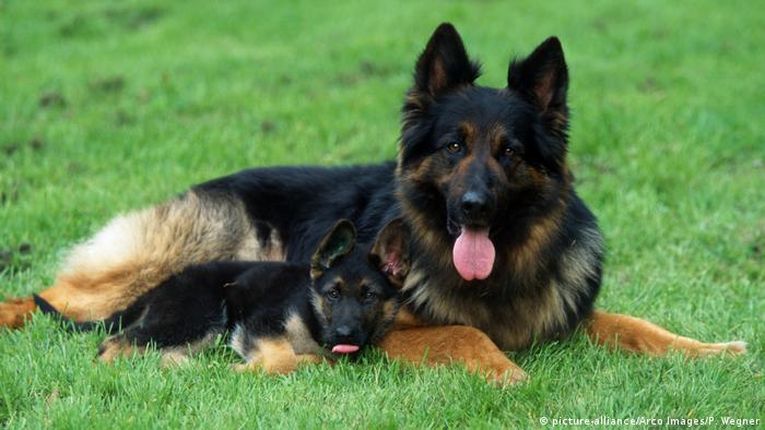 German Shepherd (picture-alliance/Arco Images/P. Wegner)