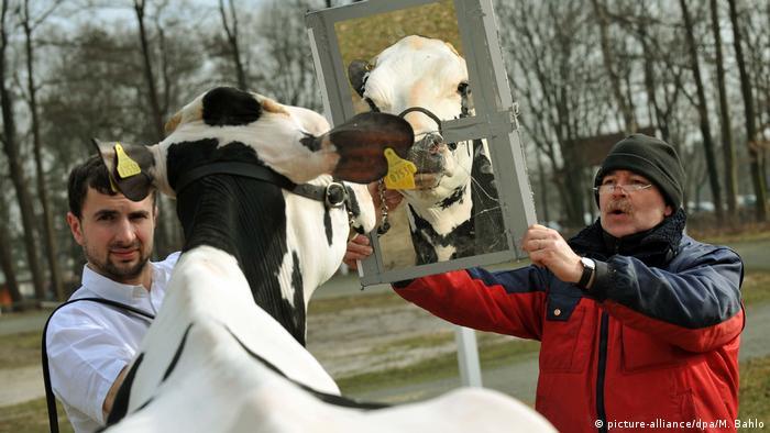 Schau der Besten Schönheitswettbewerb für Kühe (picture-alliance/dpa/M. Bahlo)