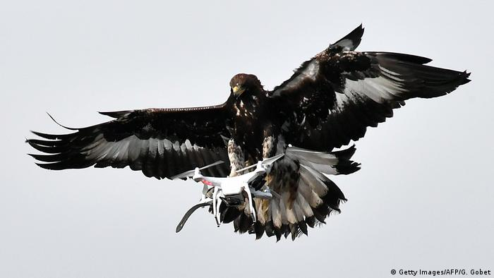 France, golden eagle with a drone in its claws (Getty Images/AFP/G. Gobet)