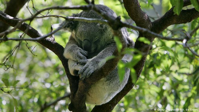 Sleeping koala (Getty Images/AFP/A. de Groot)