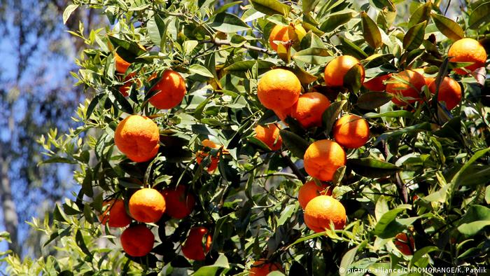 Portugal - Orangenbaum an der Algarve (picture-alliance/CHROMORANGE/K. Pawlik)