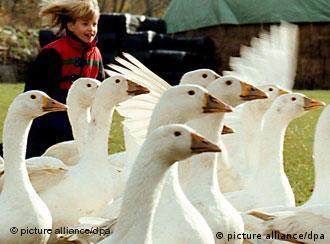 Unos diez millones de gansos se comen en Alemania el día de San Martín