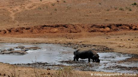 Afrika Kenia - Nilpferd an Wasserloch (Getty Images/AFP/R. Schmidt)