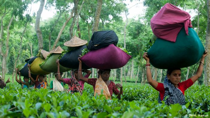 Bangladesch Tee Anbau in Moulvibazar (DW/M. Mamun)