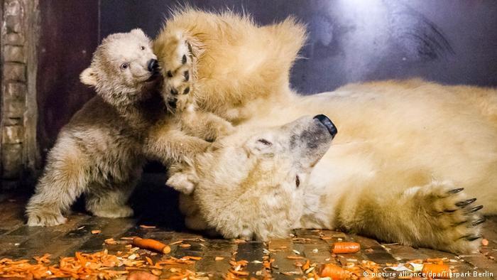 Deutschland Berliner Tierpark bangt um Eisbär-Baby Fritz