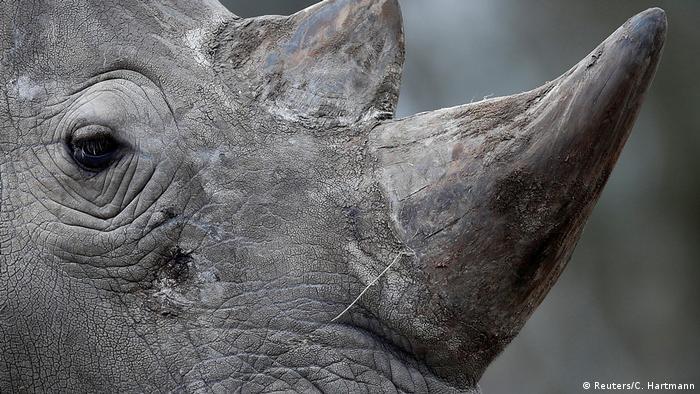 Frankreich Nashorn in Zoo erschossen und Horn abgesägt