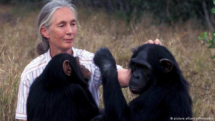 Jane Goodall with chimpanzees