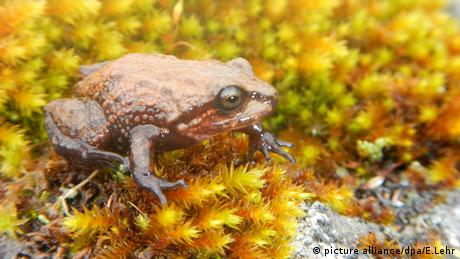 Froschart wird nach David Attenborough benannt (picture alliance/dpa/E.Lehr)