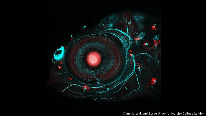 Wellcome Image Awards Zebrafish eye and neuromasts (Ingrid Lekk and Steve Wilson/University College London)