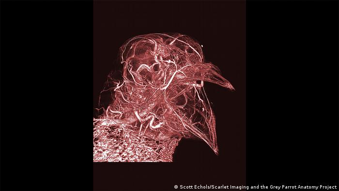 Wellcome Image Awards Pigeon thermoregulation (Scott Echols/Scarlet Imaging and the Grey Parrot Anatomy Project)