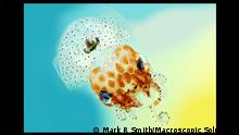 Wellcome Image Awards Hawaiian bobtail squid