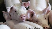 Schweine, aufgenommen am 19.05.2016 in Schwäbisch Hall (Baden-Württemberg) in den Stallungen von Schweinezüchter Reber. (zu dpa «Wenn die letzte Sau den Hof verlässt» vom 25.04.2016)   Verwendung weltweit