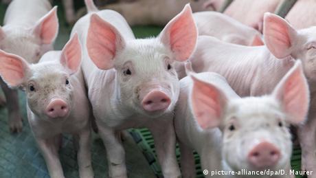 Єврокомісія занепокоєна свинячою чумою на румунсько-українському кордоні
