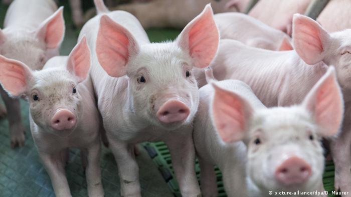 Fermă de porci (picture-alliance/dpa/D. Maurer)