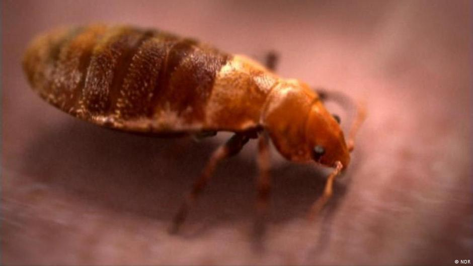 How do you say bed bugs in spanish