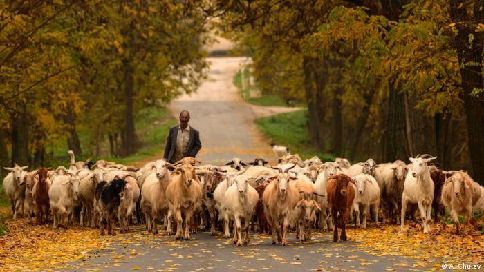 Стадо кози в село Долно Луково близо до Хасково