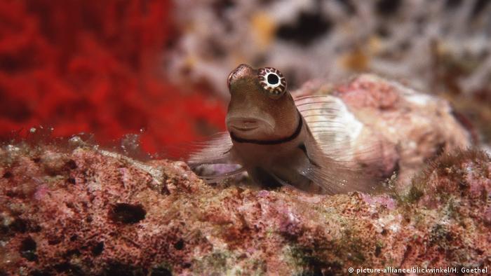 Blenny fish (picture-alliance/blickwinkel/H. Goethel)