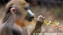 Mandrill-Affe (picture-alliance/dpa/R. Rick)