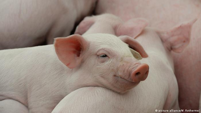 Photo: Piglets (Source: picture alliance/W. Rothermel)