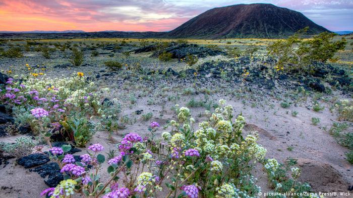 USA Kalifornien Blumen in Wüsten blühen auf (picture-alliance/Zuma Press/B. Wick)