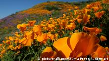 USA Kalifornien Super Bloom - California Wildflower Season