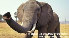 African Elephant - Checking out photographer with trunk (Loxodonta africana) | Keine Weitergabe an Wiederverkäufer.