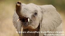 An African elephant lifting up its trunk (picture-alliance/Mary Evans Picture Library/C. Brunskill/ardea.com)