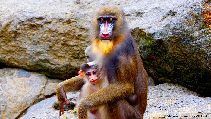 Mandrill-Affe mit Baby (picture alliance/dpa/S.Radke)