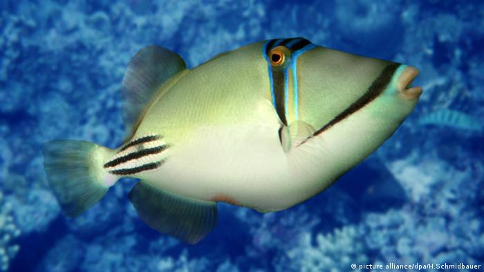 Picasso Triggerfish (picture alliance/dpa/H.Schmidbauer)