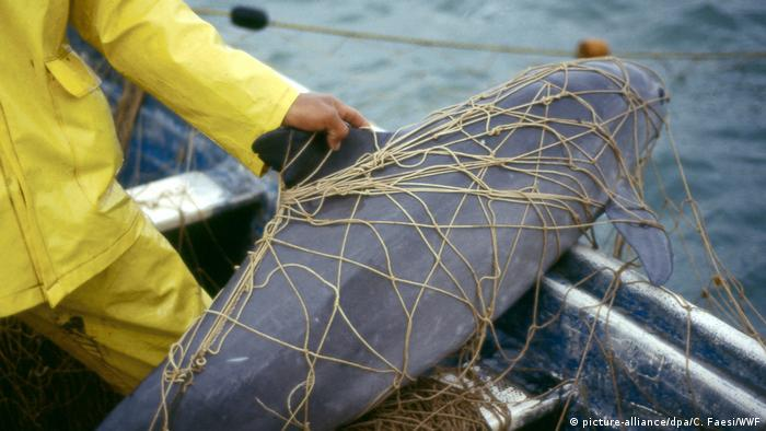 Artensterben Schweinswal Vaquita