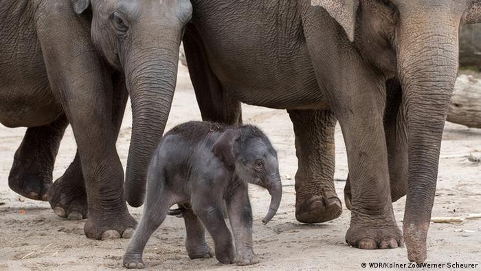 Новорожденный слоненок в Кельнском зоопарке. Март 2017 года