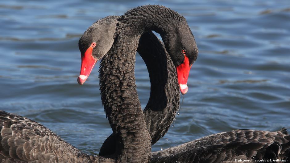Весенняя любовь черных лебедей