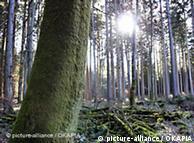 En Chile, los bosques nativos se trasforman en plantaciones.
