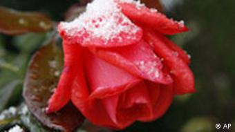A snow-covered red rose