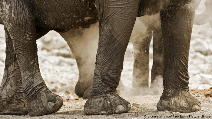 Feet of elephants (picture-alliance/Mary Evans Picture Library)