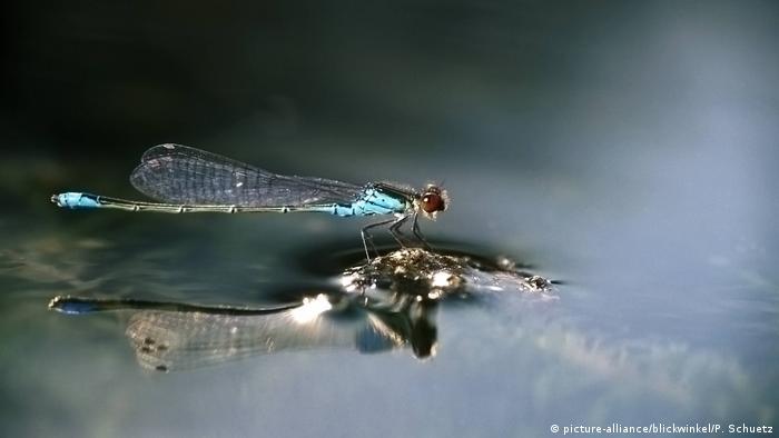 Dragonfly Erythromma viridulum (picture-alliance/blickwinkel/P. Schuetz)