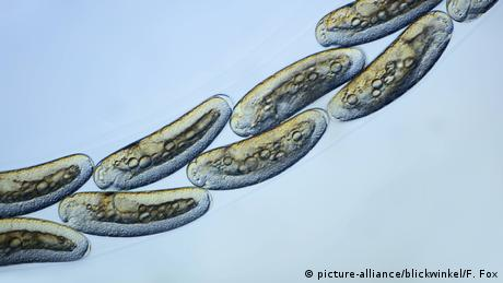 eggs of the mosquitoe species Chironomus spec. (picture-alliance/blickwinkel/F. Fox)