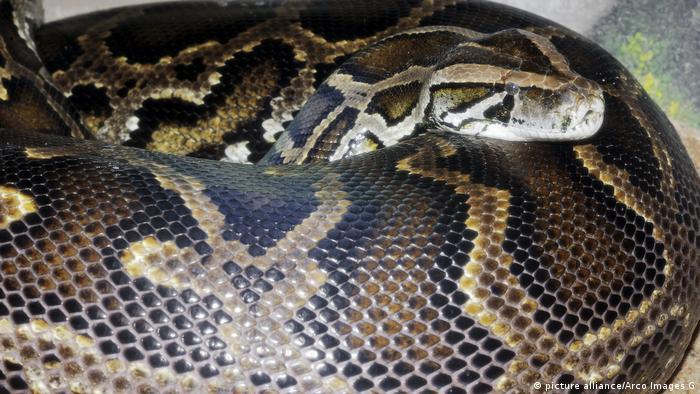 Python molurus bivittatus (picture alliance/Arco Images G)