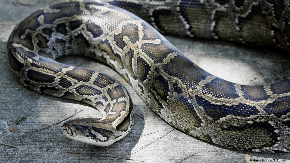 """German police pull python out of man's pants after noticing """"considerable bulge"""""""