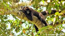 A brown-headed spider monkey in a tree